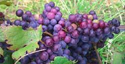 Hunter Valley grapes